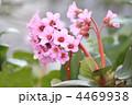 ユキノシタ ヒマラヤユキノシタ 花の写真 4469938