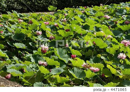 法隆寺 蓮の花 4471065