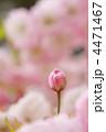ヤエザクラ 蕾 花の写真 4471467