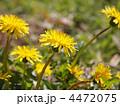 カントウタンポポ 花 タンポポの写真 4472075
