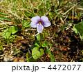 タチツボスミレ(立ち坪菫) 4472077