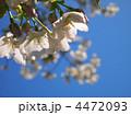 オオシマザクラ 大島桜 花の写真 4472093