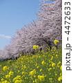 春の花 桜並木 ナノハナの写真 4472633