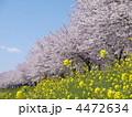 桜並木 春の花 ナノハナの写真 4472634