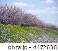 春の花 桜並木 ナノハナの写真 4472636