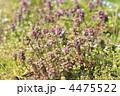 群生 野花 ヒメオドリコソウの写真 4475522