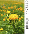 ベニバナ 紅花 植物の写真 4476119