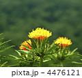 ベニバナ 紅花 植物の写真 4476121