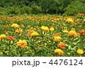 紅花 ベニバナ 植物の写真 4476124