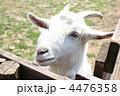 ヤギ やぎ 家畜の写真 4476358