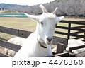 ヤギ やぎ 家畜の写真 4476360