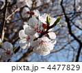杏の花 4477829