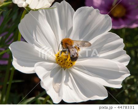 ミツバチと白いコスモス 4478331