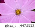 ピンク色のコスモス コスモスの花 コスモスの写真 4478332