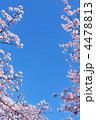 快晴 桜 植物の写真 4478813