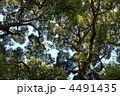 樟 くすのき 楠の写真 4491435