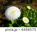 デージー(雛菊) 4498575