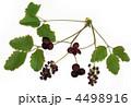 あけびの花1 4498916