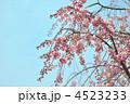 八重紅枝垂(ヤエベニシダレ) 4523233