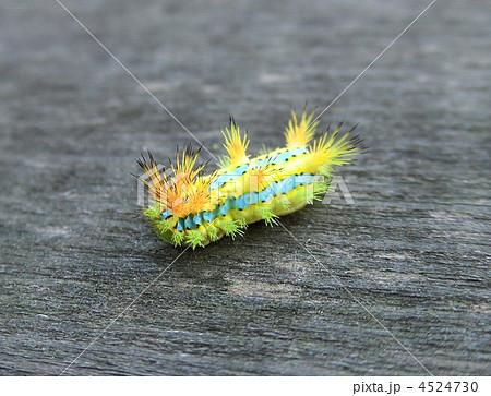 カラフルな毛虫 4524730