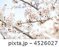 花 桜 ソメイヨシノの写真 4526027