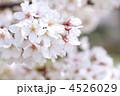 花 桜 ソメイヨシノの写真 4526029