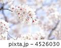 花 桜 ソメイヨシノの写真 4526030