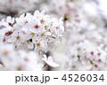 花 桜 ソメイヨシノの写真 4526034
