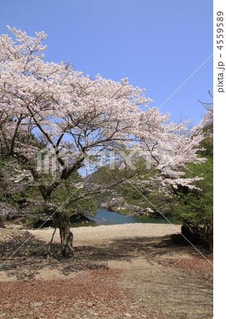 山桜 4559589