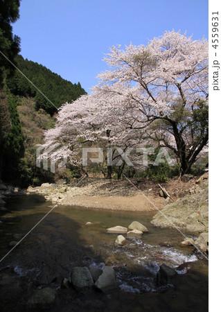 山桜 4559631