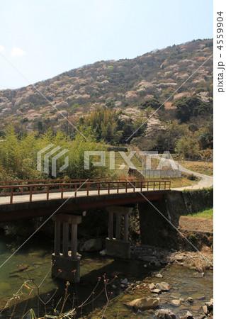 桜と橋 4559904