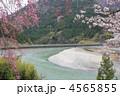 天竜川 紅枝垂桜 花の写真 4565855