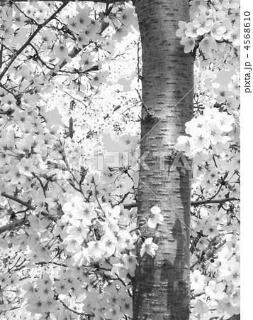桜の木の写真素材 4568610 Pixta