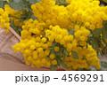 ミモザ 切り花 ギンヨウアカシアの写真 4569291