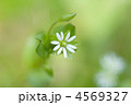 小花 ハコベ はこべの写真 4569327