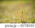 春のイメージ  土筆 4578030