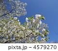 大島桜 オオシマザクラ 桜の写真 4579270
