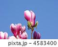 モクレン 木蓮 シモクレンの写真 4583400