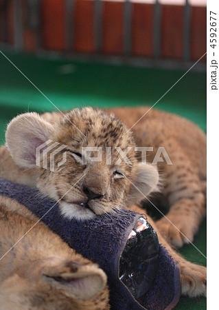 ライオンの赤ちゃんのお昼寝の写真素材 [4592677] , PIXTA