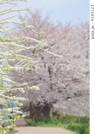 ユキヤナギの花と桜のある遊歩道(神奈川県横浜市戸塚区上矢部町) 4593121