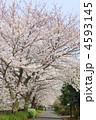 並木道 桜並木 花の写真 4593145