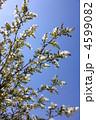 リキュウバイ 利休梅 花の写真 4599082