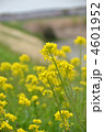 菜の花 菜の花畑 ナバナの写真 4601952