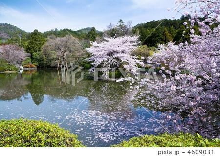 龍安寺の桜 4609031