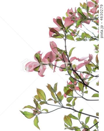 花水木/赤い花・ピンクの花/アメリカヤマボウシ/白バック(縦位置)の写真素材 [4630279] - PIXTA