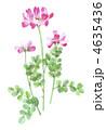 レンゲソウ レンゲ草 蓮華のイラスト 4635436