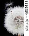 タンポポの綿毛 4635688
