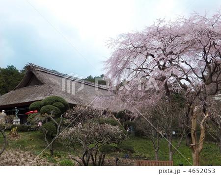 秩父宮記念公園の枝垂れ桜 4652053