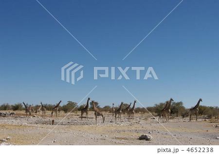 野生のキリンの群れ 4652238
