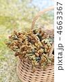 わらび わらび狩り 蕨の写真 4663367